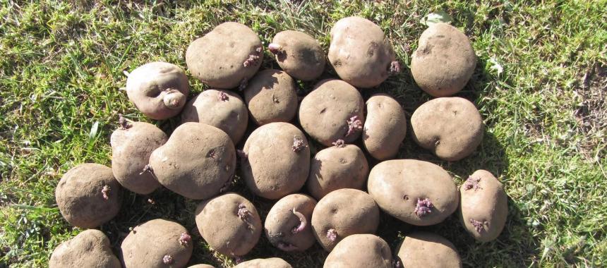 R12 Potatoes